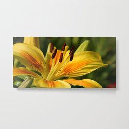 Beautiful Yellow Lily Metal Print