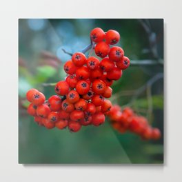 Ashberry in the forest  Metal Print