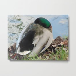 Sleeping duck Metal Print