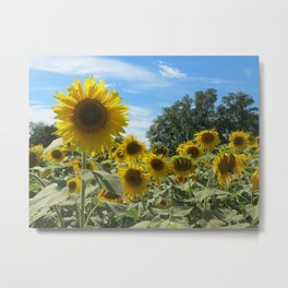 Sunflower field in the Summer ft. a nice blue sky Metal Print