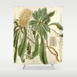 Banksia integrifolia (Coast Banksia) 1827 Shower Curtain
