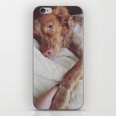 Spaniel Breton iPhone & iPod Skin