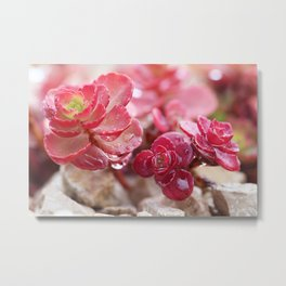 Succulent Garden Cactus Red Flowers Tropical Cacti with drops Metal Print