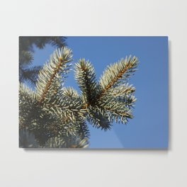All spruced up and still blue - Blue spruce, blue sky 1564 Metal Print