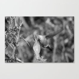 Hummingbird and the Flower- Black and White Canvas Print