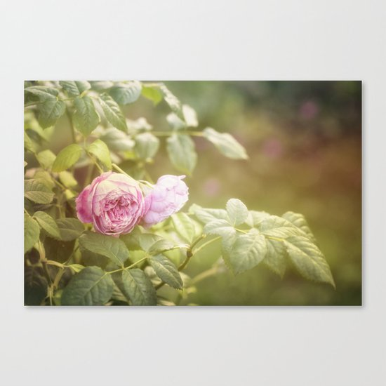 Rose in late sunlight Canvas Print