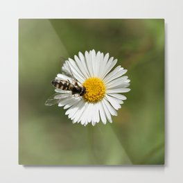 Native Bee on Seaside Daisy Metal Print