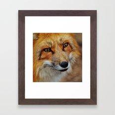 wild fox close up Framed Art Print