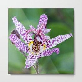 Toad Lily Metal Print
