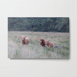 Alerted Highlander Cows Metal Print