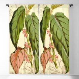 Begonia mannii Blackout Curtain
