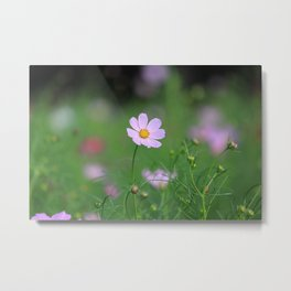 Pink Cosmos in Sunshine Photography Metal Print