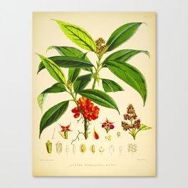 Vintage Scientific Botanical Illustration Species Drawing Himalayan Plants Green Leaves Red Berries Canvas Print