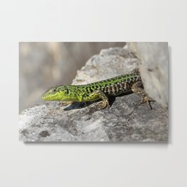 Italian Wall Lizard Metal Print