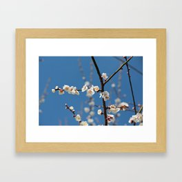 Plum Blossoms Japanese Ume Tree and Blue Sky in Early Spring Photography Framed Art Print