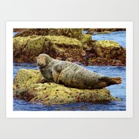 seal Art Prints featuring Seal by m sanders photography