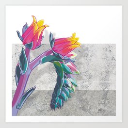Echeveria elegans Art Print