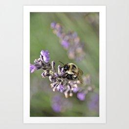 Bumblebee On The Lavender Field 3 Art Print