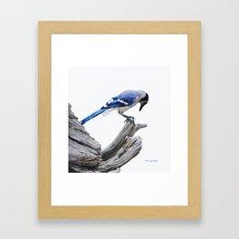 Blue Jay II Framed Art Print