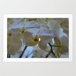 White Peabody Orchid III Art Print