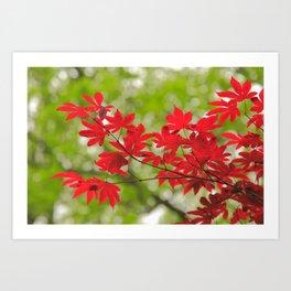 Acer leaves Art Print