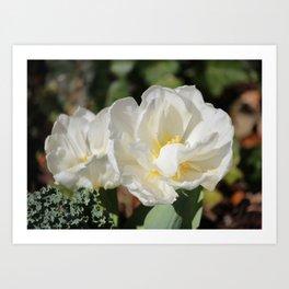 White Camellias In Bloom Art Print
