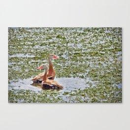 Black Bellied Whistling Ducks  Canvas Print