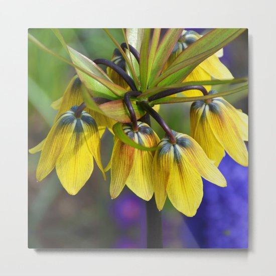 Crown imperial flower (yellow, blue, orange) Metal Print