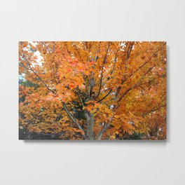 Sugar Maple Tree Metal Print