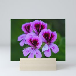 Rose Geranium (Pelargonium graveolens) Mini Art Print
