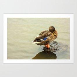 The Mallard Duck Art Print