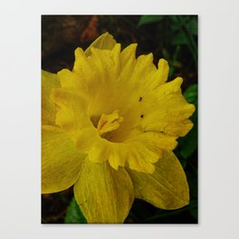Daffodil Greetings Canvas Print