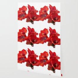 red amaryllis in bloom Wallpaper