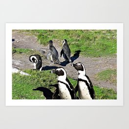 Cape Town Penguins Strolling at Boulders Beach Art Print