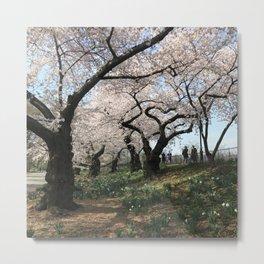 Central Park Cherry Trees Metal Print