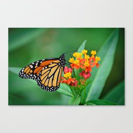 Monarch's Busy Day Canvas Print