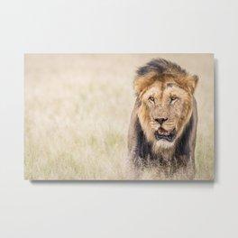 Male Lion starring Metal Print