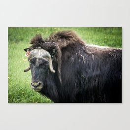 North American Wildlife - Bull Musk Ox Canvas Print