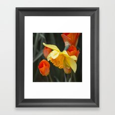 Narcissus Tulip  Framed Art Print