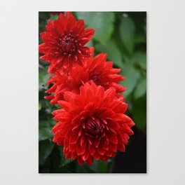 Fresh Rain Drops - Red Dahlia Canvas Print