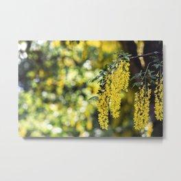 Golden Chain Tree - Laburnum Flower Metal Print