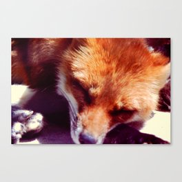 The Red Fox is sleeping, be quiet Canvas Print