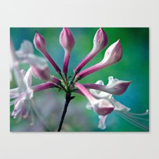 Budding/Blooming Honeysuckle Canvas Print