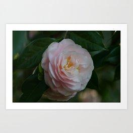 Pink Camellia Art Print