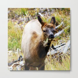 Young Elk Snacking Metal Print