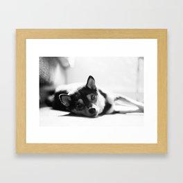 Shiba laying Framed Art Print