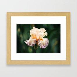 Lavender and Peach Iris Framed Art Print