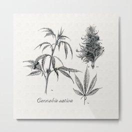 Cannabis sativa Metal Print