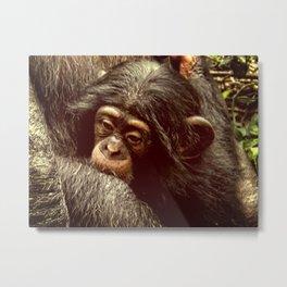 Baby Chimpanzee Cuddling Close to Mom with Vintage Look Metal Print