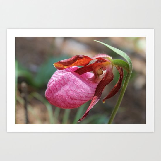 The Pink Lady Slipper Art Print